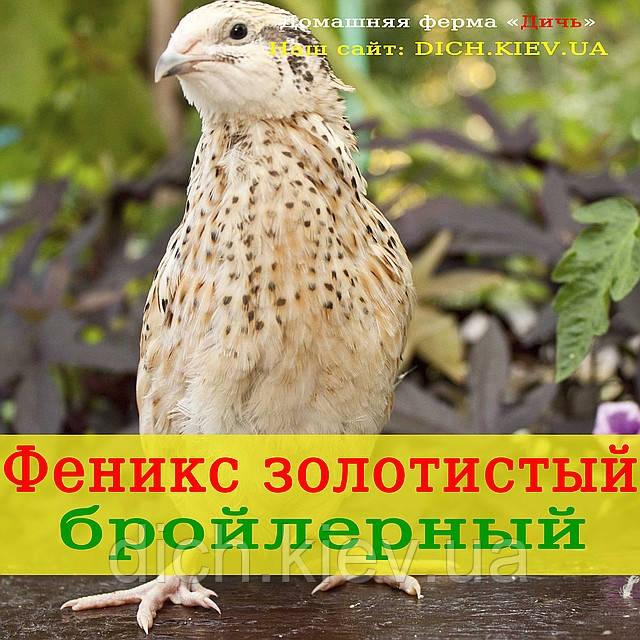 Перепел Феникс золотистый, бройлерный