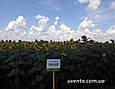 Гібрид соняшнику Пунтасол КЛ, фото 4