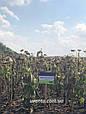 Гібрид соняшнику Пунтасол КЛ, фото 6