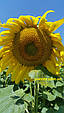 Гібрид соняшнику Пунтасол КЛ, фото 7