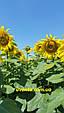 Гібрид соняшнику Пунтасол КЛ, фото 8