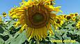 Гібрид соняшнику Пунтасол КЛ, фото 2