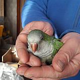 іграшка для папуги, фото 2
