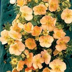 Лапчатка кущова Daydawn 2 річна, Лапчатка кустарниковая Дэйдаун, Potentilla fruticosa Daydawn, фото 3