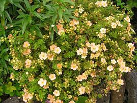 Лапчатка кущова Daydawn 2 річна, Лапчатка кустарниковая Дэйдаун, Potentilla fruticosa Daydawn, фото 2