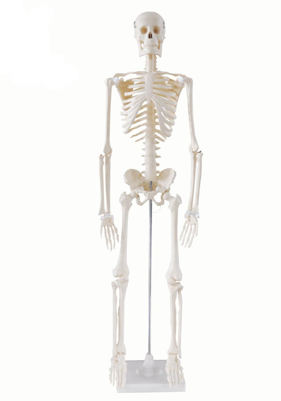 Скелет людини 85см