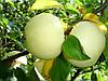 Яблоня Белый налив(летний) М9, 106.