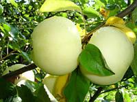 Яблоня Белый налив(летний) М-9, ММ-106