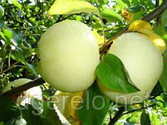 Яблоня Белый налив (летний)