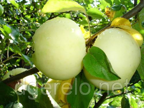 Яблуня Білий налив - літний сорт