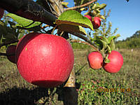 Саженцы яблонь опт и розница. Подвой М-106