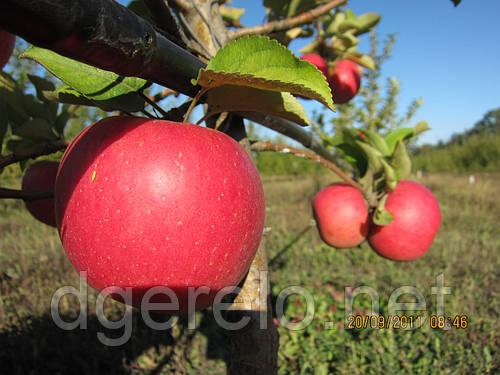 Саженцы яблонь опт и розница ММ-106