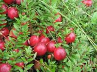 Особенности выращивания клюквы