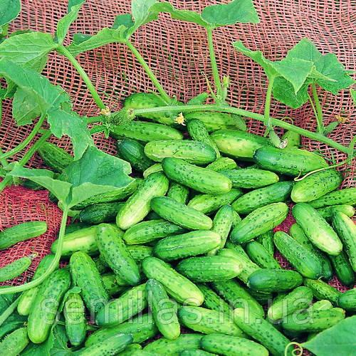 Семена огурца  Акорд F1 (Akord F1) 250 сем., женского типа цветения