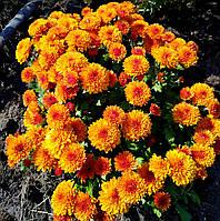 Хризантема бордюрна, помаранчева №2, фото 1