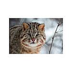Мои знакомые леопарды. Малеев Валерий, фото 3