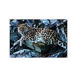 Мои знакомые леопарды. Малеев Валерий, фото 4