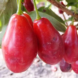 Саженцы Кизила Николка - ранний, крупноплодный, зимостойкий