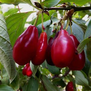 Саженцы Кизила Пионер - ранний, урожайный, зимостойкий