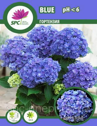 Гортензия Blue, фото 2