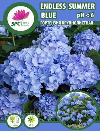 Гортензия крупнолистная Endless Summer Blue, фото 2