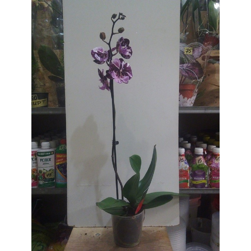 Фаленопсис биглип 1 цветонос высота 70 см