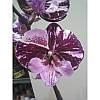 Фаленопсис биглип 1 цветонос высота 70 см, фото 2