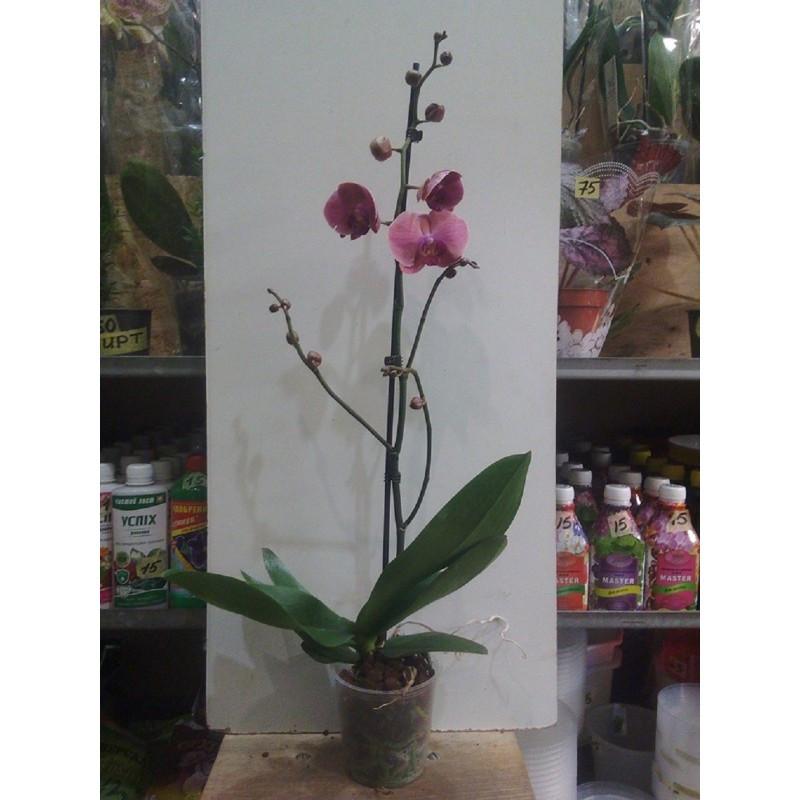 Фаленопсис высота 70 см