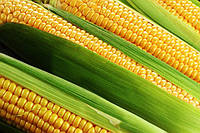 Семена кукурузы качественные