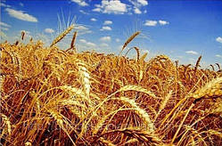Як зберегти посіви озимої пшениці !!!!!!