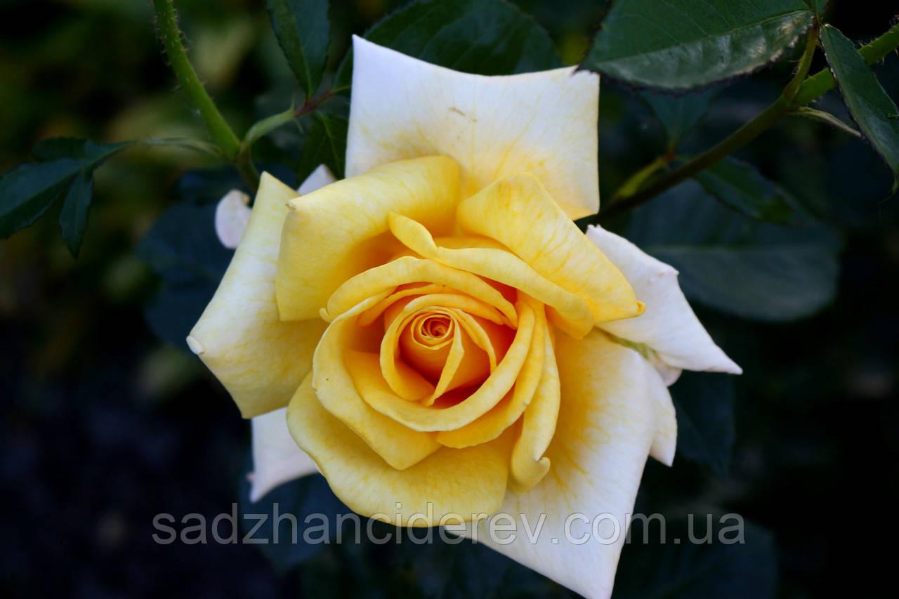 Саджанці троянд Бероліна (Berolina, Беролина)