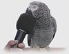 Обучение попугаев человеческой речи.