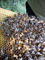 Пчелиные семьи