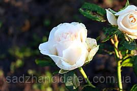 Саджанці Троянд  Ла Перла (La Perla)