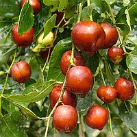 Саженцы Зизифуса Я-цзао (Ян-дзяо)(привитый) - ранний, сочный, крупноплодный (унаби, финика, жужуба)