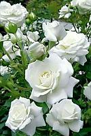 Роза Алабастер (Alabaster) Флорибунда