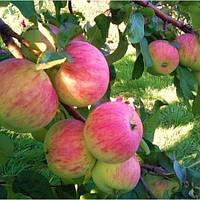 Саджанці яблуні Аскольда