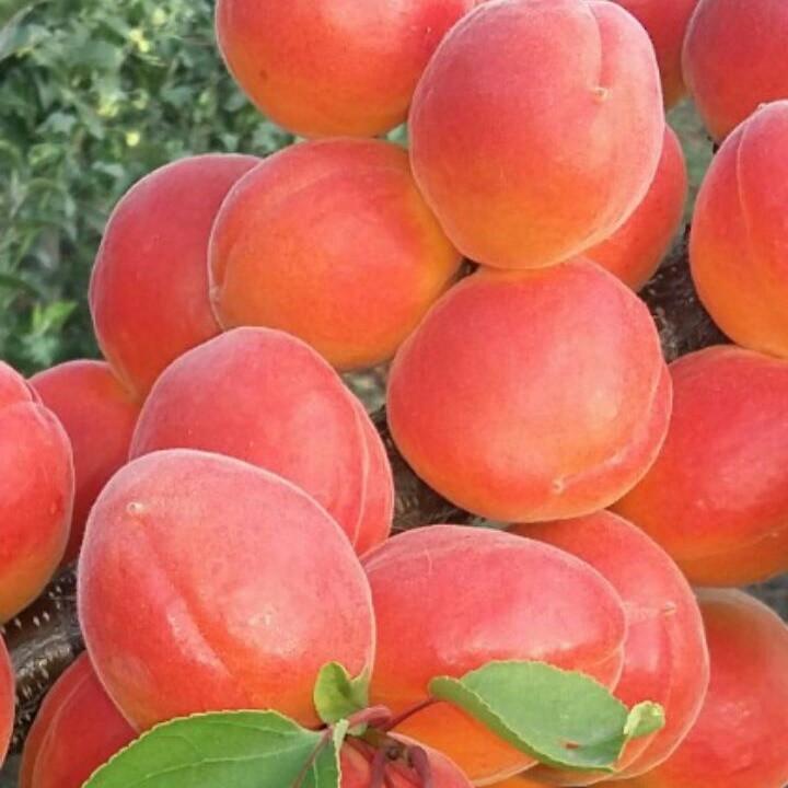 Саджанці абрикосу Tsunami (Цунамі)