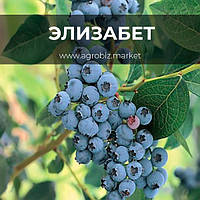 Саженцы голубики сорт Элизабет 1-лет. в горшке 0.5л (Р9) h-20-30 см, 1-3 побегов
