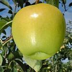 Голден Делишес - саженцы яблони (зимний)