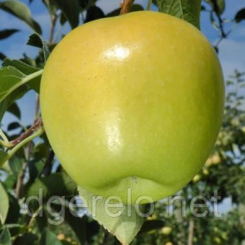 Голден Делишес - саженцы яблони (зимний) ММ106