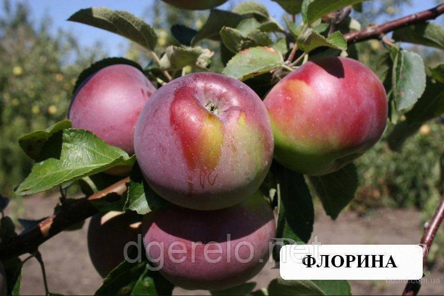 Саджанці яблуні Флоріна - зимовий сорт