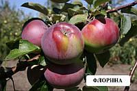 Саженцы яблони Флорина (зимний) М9,106, фото 1