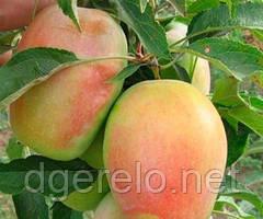 Яблоня Кандиль Синап - саженцы яблони осенней