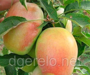 Яблоня Кандиль Синап - саженцы яблони (осенний)