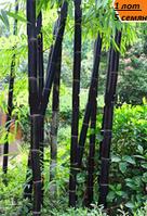 Фиолетовый бамбук редкий вид 1 лот 5 семян