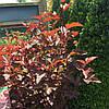 Пухироплідник калинолистий Little Devil 2 річний Пузыреплодник калинолистный Литл Девил physocarpus opulifoliu, фото 2