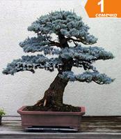 Бонсай Колорадо голубой ели вечно зеленое дерево 1 семечка