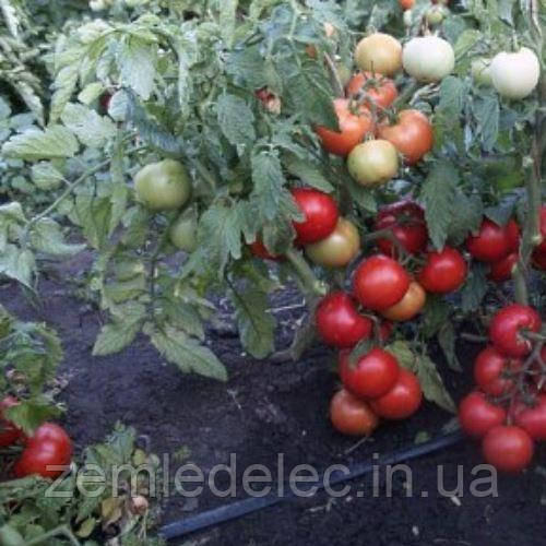 Тапер томат 1000 сем.  Йоан Сидс Соларе Сементи