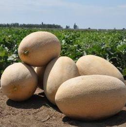 Производительный среднеспелый гибрид дыни Раймонд F1, Семена профессиональная упаковка Hazera 1 000 семян
